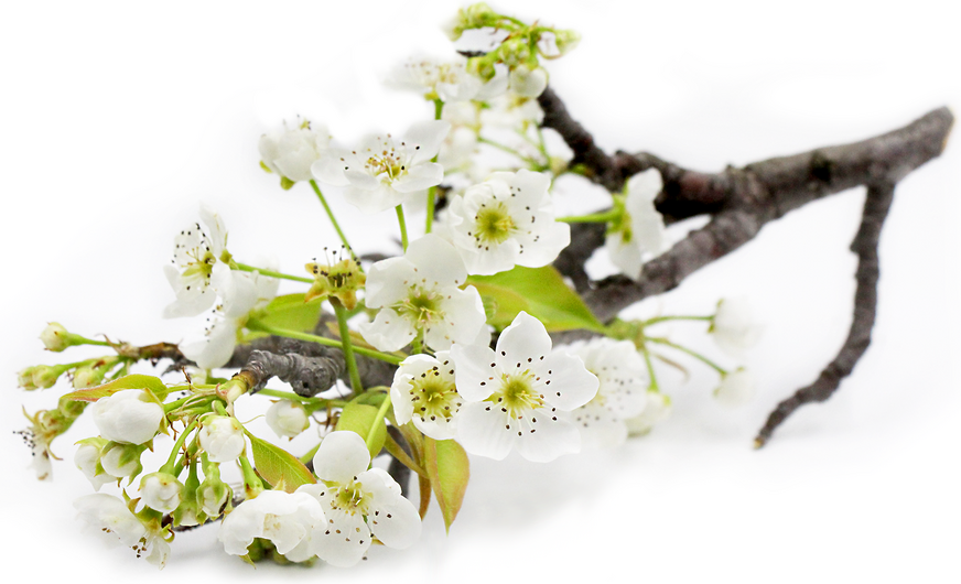 Pear Blossoms picture