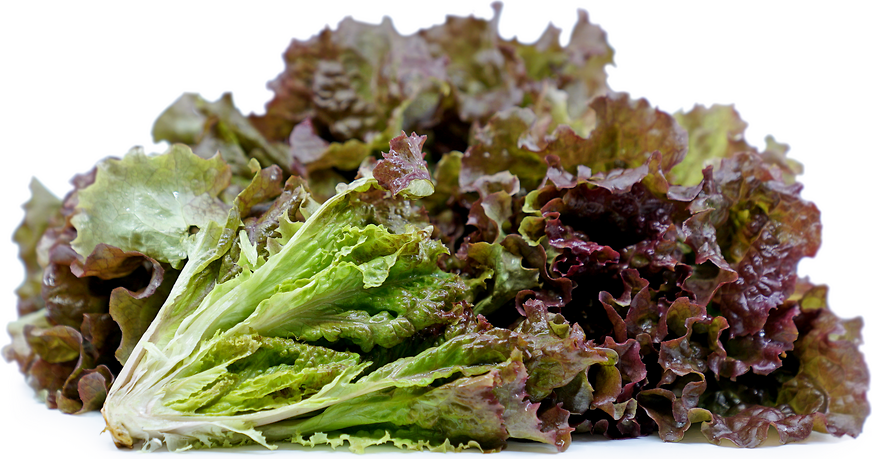 Red Fire Lettuce picture