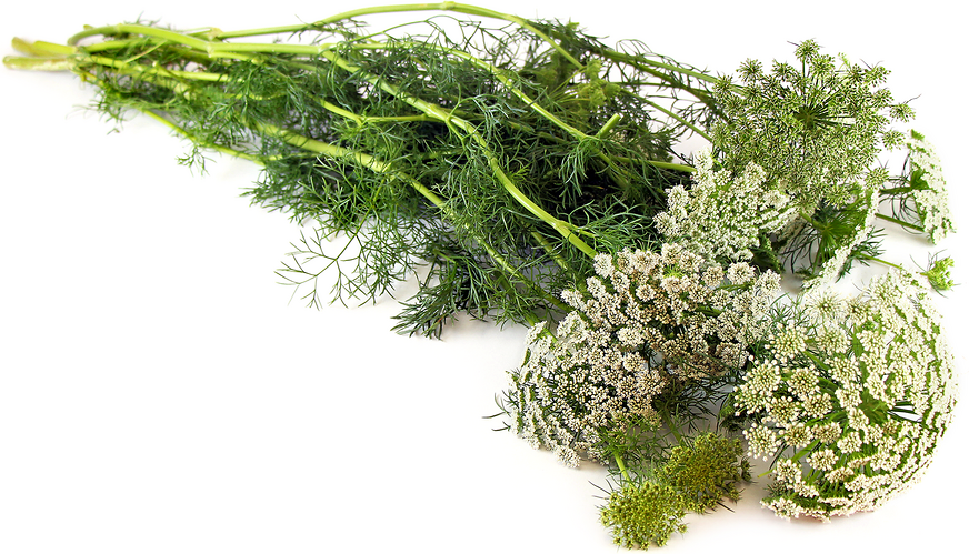 Wild Carrot (Queen Anne's Lace) picture