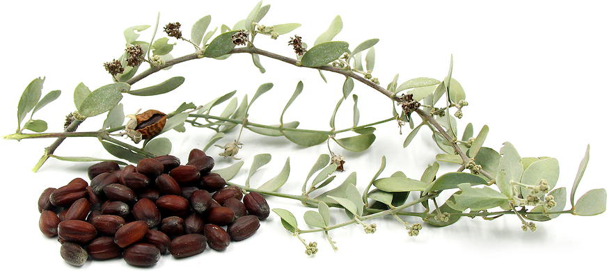 Foraged Jojoba Nuts picture