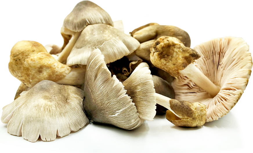 Kulat Sawit Mushrooms picture