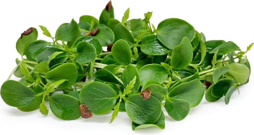 Tahoon Watercress picture