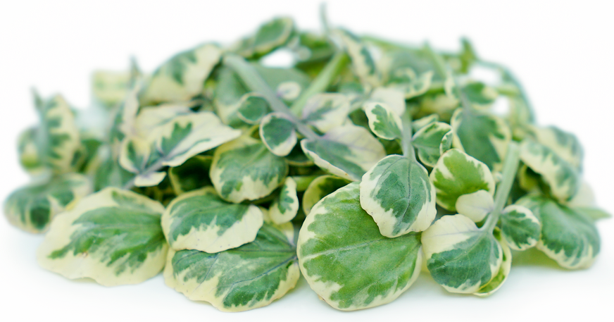 Petite® White Angel Watercress picture