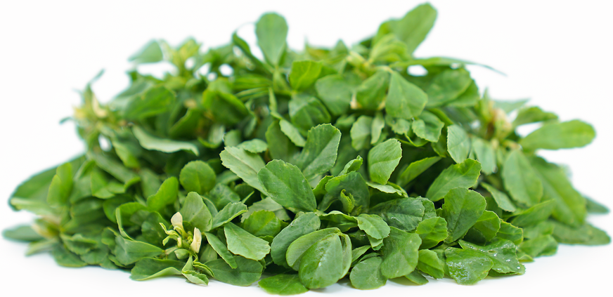 Fenugreek picture